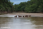 Capybaras in a river [colombia_3427]