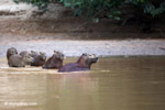 Capybaras in a river [colombia_3433]