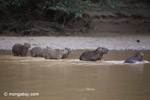 Capybaras in a river [colombia_3436]