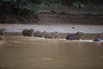 Capybaras in a river [colombia_3438]
