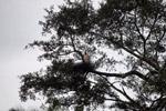 Jabiru stork standing in its nest [colombia_3446]