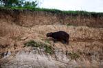 Capybara [colombia_3480]