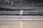 Capped Heron (Pilherodius pileatus) [colombia_3492]