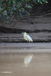 Capped Heron (Pilherodius pileatus) [colombia_3495]