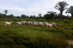 Cattle in eastern Colombia