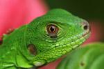 Profile of a green iguana (Iguana iguana)