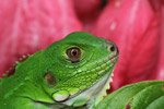Green iguana, up close and personal