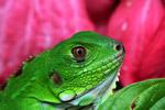 Profile of a common green iguana (Iguana iguana)