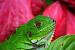Young common green iguana