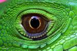 Iguana, up close and personal