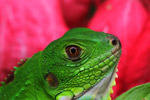 Green iguana (Iguana iguana), up close and personal