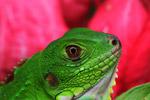Green iguana (Iguana iguana), up close and personal