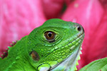 Close-up of a common green iguana