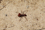 Red soldier leaf-cutter ant