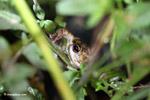 Trachycephalus cf. venulosus or Scinax ruber frog