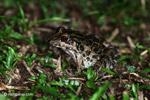 Leptodactylus fuscus frog