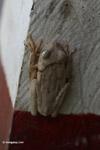 Hypsiboas tree frog with stunning eyes