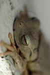 Hypsiboas treefrog with gorgeous eyes