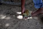 Horned screamer chick (Anhima cornuta)