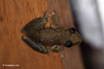 Scinax ruber frog [colombia_3857]