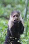 White-headed capuchin monkey [colombia_4075]