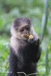 White-headed capuchin monkey [colombia_4083]