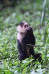 White-headed capuchin monkey [colombia_4091]