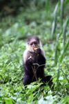 White-headed capuchin monkey [colombia_4095]