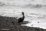 Brown Pelican (Pelecanus occidentalis) [colombia_4225]