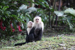 White-headed capuchin monkeys grooming [colombia_4300]