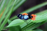 Blue Postman butterfly (Heliconius sp) [colombia_4306]