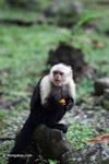 White-headed capuchin monkey eating fruit [colombia_4314]