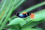 Blue Postman butterfly (Heliconius sp) [colombia_4320]