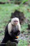 White-headed capuchin monkey eating fruit