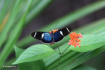 Blue Postman butterfly (Heliconius sp) [colombia_4341]
