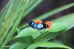 Blue Postman butterfly (Heliconius sp) [colombia_4362]