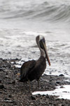 Brown Pelican (Pelecanus occidentalis) [colombia_4448]