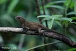 Lizard [colombia_4622]