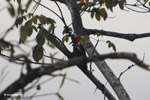 Lineated Woodpecker (Dryocopus lineatus) [colombia_4697]