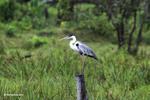 Cocui heron [colombia_4747]