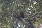 Hawk [colombia_4772]