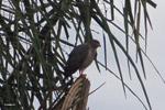 Raptor [colombia_4822]