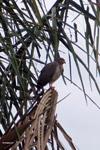 Raptor [colombia_4825]