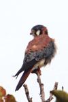 American Kestrel (Falco sparverius) [colombia_4843]