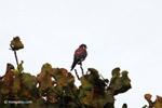 American Kestrel (Falco sparverius) [colombia_4853]
