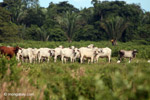 Cattle in Colombia's llanos [colombia_4879]
