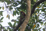 Red howler monkey [colombia_5000]