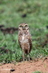 Burrowing Owl [colombia_5002]