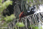 Red howler monkey [colombia_5009]