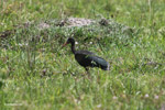 Green Ibis (Mesembrinibis cayennensis) [colombia_5017]